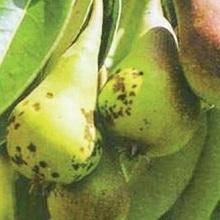 Как лечить болезни груши