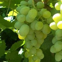 Какие удобрения вносить осенью под виноград