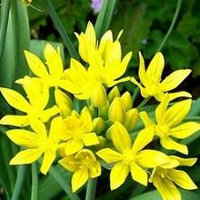 Цветет декоративный лук моли