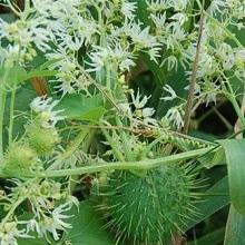 Цветы колючеплодника