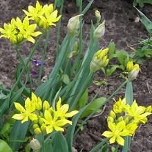 Желто-золотистый декоративный лук моли на участке