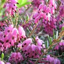 Эрика вересковое растение