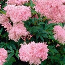 Лабазник розовый