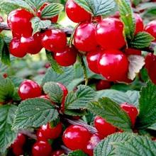 Листья и ягоды войлочной вишни
