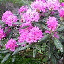 Рододендроны растения семейства вересковые