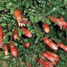 Выращивание карликового граната
