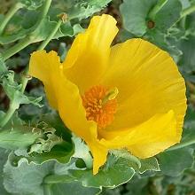 Растение Мачок желтый