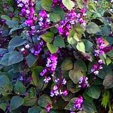 Растение долихос