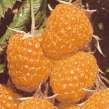 Сорта белой малины