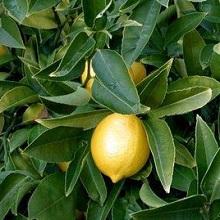 Выращивание лимона на подоконнике