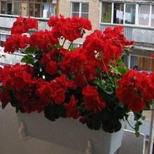 Выращивание герани на балконе