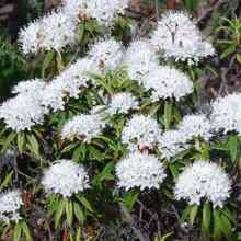 Багульник болотный фото цветов