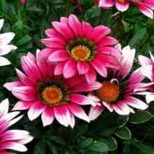 Гацания разноцветная красавица