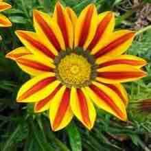 Растение гацания