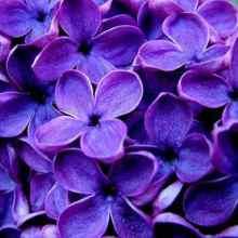Сирень фиолетовая фото цветов