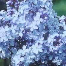 Сирень голубая фото удивительных цветов