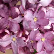 Сирень лиловая фото цветов