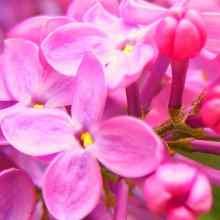 Сирень розовая фото цветов
