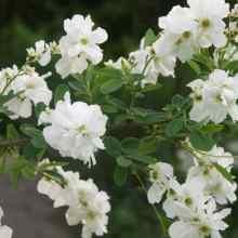Цветы экзохорды