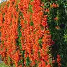 Кампис садовая лиана