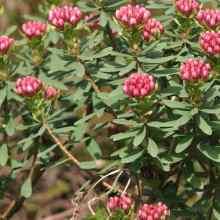 Растение волчеягодник