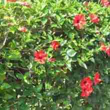 Вьющиеся растения для живой изгороди