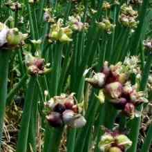 Выращивание многоярусного лука на приусадебном участке