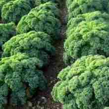 Кормовая капуста выращивание на участке