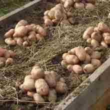 Урожай картофеля под соломой