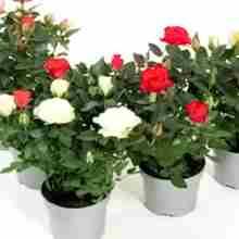 Выращивать розы дома в горшке
