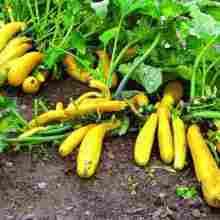 Хороший урожай желтых кабачков