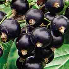 Сорта черной смородины устойчивые к болезням