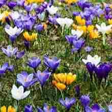 Какие мелколуковичные цветы вырастить на участке