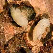 Отложенные личинки жука короеда в ствол дерева