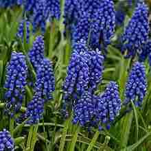 Мелколуковичный Цветок мускари