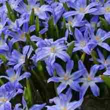 Цветок Хиондокса в саду