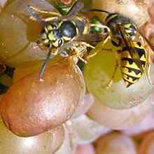 Как можно защитить виноград от ос и птиц
