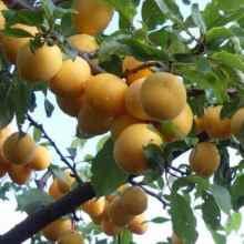 Для средней полосы России какой сорт абрикоса лучше выращивать