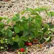 Уход за садовой клубникой после сбора урожая