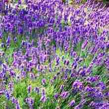Правильный уход за лавандой в саду на протяжении всего сезона