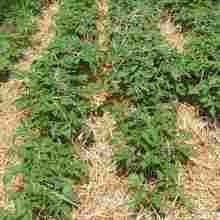 О том, как вырастить картофель под соломой или сеном на своем огороде
