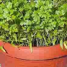 Выращивание кервеля в домашних условиях