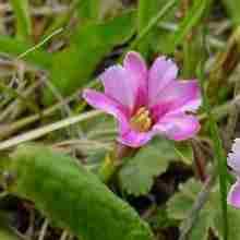 Горечавка розовая