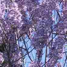 Павловния адамово дерево цветет