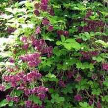 Растение акебия