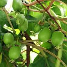 Ягоды растения актинидия