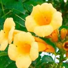 Кампсис желтый