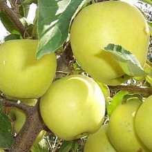 Плоды сорта яблони Голден делишес