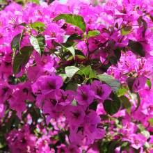 Растение бугенвиллия
