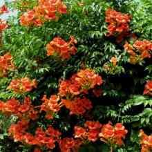 Растение Кампсис